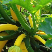 Courgette F1 Goldrush - 10 seeds
